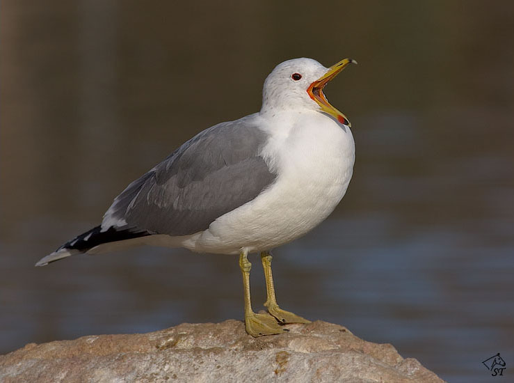 Steve Ting Photography - California Gull